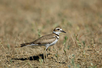 Killdeer Photograph - A Killdeer In Eastern Montana by Joel Sartore