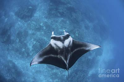Batoidea Photograph - A Large Reef Manta Ray Swims by Ethan Daniels