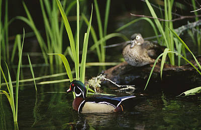 A Male Wood Duck Swims Past Its Mate Print by Raymond Gehman