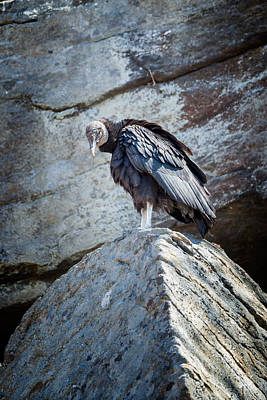 Vulture Photograph - A Moment Of Silence by Bill Wakeley