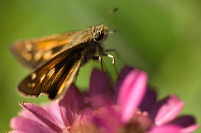 A Moth Feeds On A Zinnia Flower Print by Joel Sartore