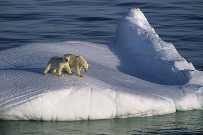 Bear Photograph - A Mother Polar Bear And Her Cub Ride by Paul Nicklen