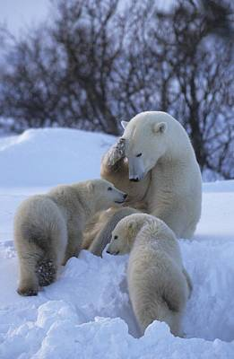 Natural Forces Photograph - A Mother Polar Bear Nurtures Her Two by Paul Nicklen
