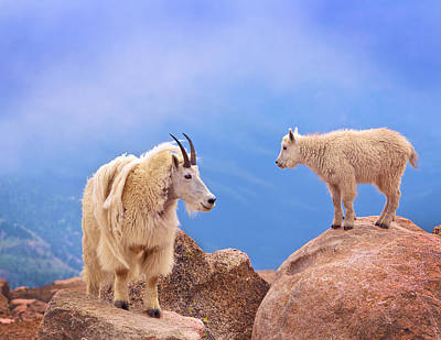 Mountain Goat Photograph - A Mother's Smile by David Scarbrough