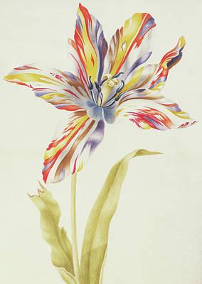 Tulips Drawing - A Multicolored Broken Tulip by Nicolas Robert