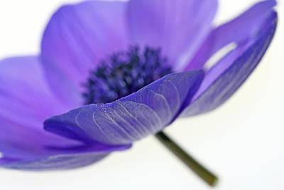 Purple Floral Photograph - A-nemone by Rebecca Cozart