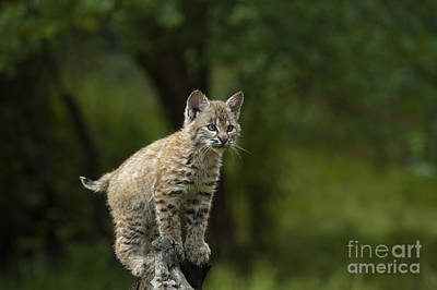 Canadian Lynx Photograph - A Perch With A View by Sandra Bronstein