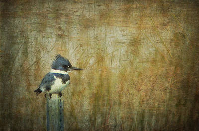 Kingfisher Digital Art - A Perched Belted Kingfisher by Carla Parris