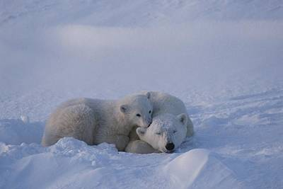 A Polar Bear Cub Ursus Maritimus Rests Print by Tom Murphy