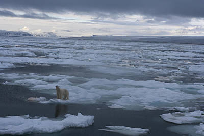 A Polar Bear On A Disintergrating Ice Print by Paul Nicklen