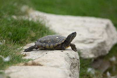 Pond Turtle Photograph - A Pond Turtle At The Sunset Zoo by Joel Sartore