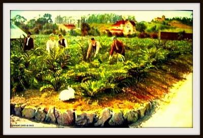 Artichoke Mixed Media - A Rabbit And Tourists In The Artichoke Garden, Hotel Potter, Santa Barbara Ca, 1910 by Dwight GOSS