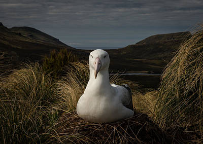 Albatross Photograph - A Royal In Waiting by Doug Gimesy