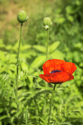 Photograph - A Single Poppy Flower 2016 by Thomas Young