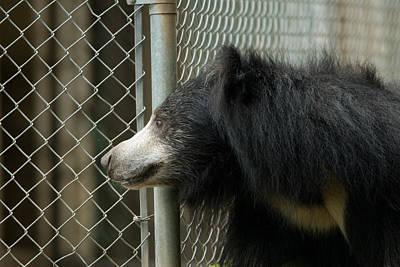 A Sloth Bear Melursus Ursinusat Print by Joel Sartore