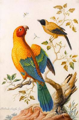 Oriole Painting - A Sun Conure Parrot  by Herman