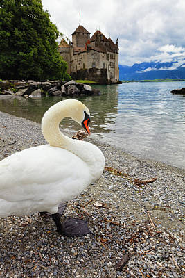A Swan Standing Along A Lakeshore Print by George Oze