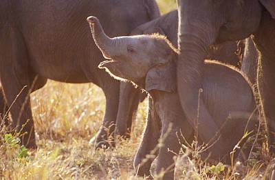A Tiny Endangered Asian Elephant Calf Print by Jason Edwards