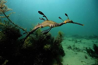 A Weedy Sea Dragon, Perhaps Print by George Grall