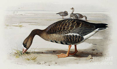 Geese Drawing - A White Fronted Goose by Archibald Thorburn