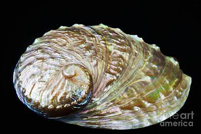 Abalone Shell Print by Bill Brennan - Printscapes