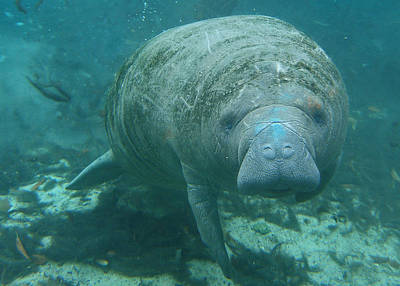 About To Meet A Manatee Print by Kimberly Mohlenhoff