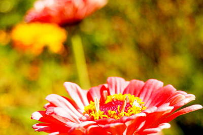 Abstract Zinnia Print by Beth Collins