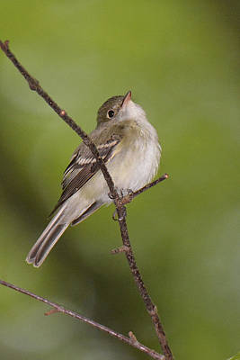 Acadian Flycatcher Original by Alan Lenk