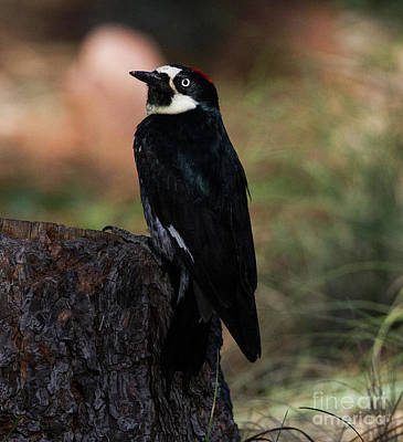 Acorn Woodpecker On A Stump Print by Ruth Jolly