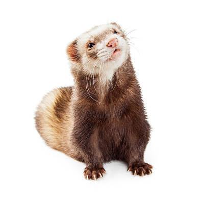Adorable Pet Ferret Looking Up Print by Susan Schmitz