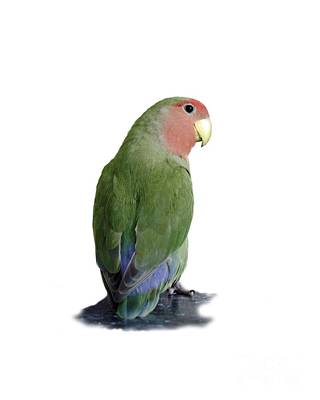 Peach-faced Lovebird Photograph - Adorable Pickle On A Transparent Background by Terri Waters