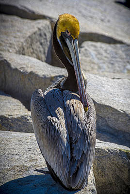 Pelican Photograph - Adore Me by Marvin Spates