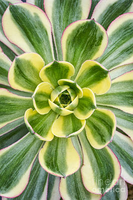 Aeonium Sunburst Print by Tim Gainey