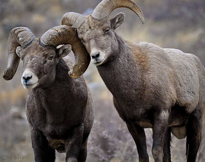 Bighorn Ram Photograph - Affectionate Rams by Kevin Munro