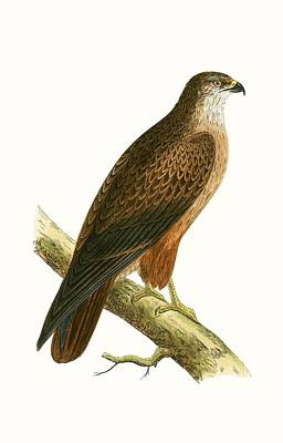 Hawk Drawing - African Buzzard by English School