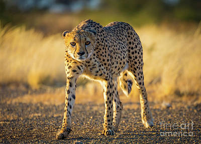 Crouched Photograph - African Cheetah by Inge Johnsson