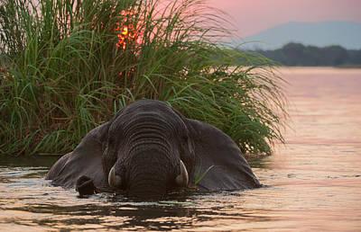 Elephant Photograph - African Elephant, Loxodonta Africana, Swimming In The Zambezi by Alisa Timurzieva