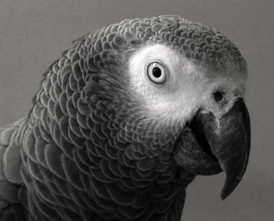 African Gray Print by Sandi OReilly