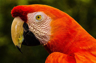 Photograph - African Parrot #2 by Patty MacInnis