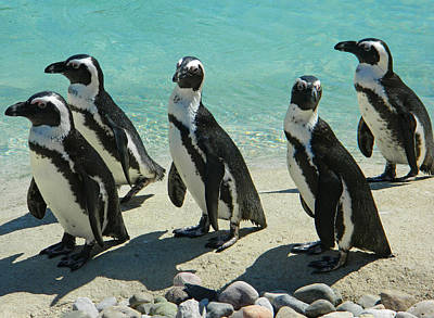 Penquins Photograph - African Penquins Drying Off by Emmy Marie Vickers