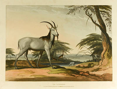 Drawing - African Scenery And Animals by Samuel Daniell