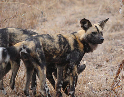Photograph - African Wild Dogs by Sarah  Lalonde
