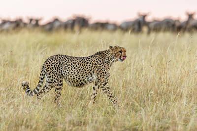 Cheetah Photograph - After by Khaleel Nadoum