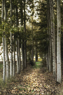 Birch Bark Photograph - Afternoon Stroll by Rebecca Cozart