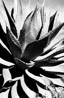 Sonora Photograph - Agave by Thomas R Fletcher
