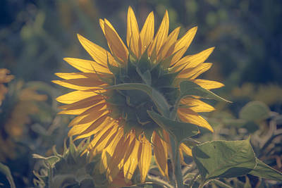 Sunflower Photograph - Aglow by Chris Fletcher