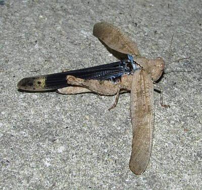 Web Of Life Photograph - Airplane Grasshopper by Joshua Bales