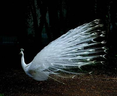 Albino Peacock Print by Yvonne Ayoub