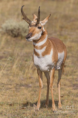 Yellowstone Digital Art - Alert Pronghorn by Jerry Fornarotto
