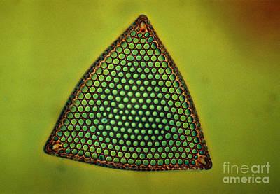 Algae, Diatom, Triceratium Ladus, Lm Print by Eric Grave